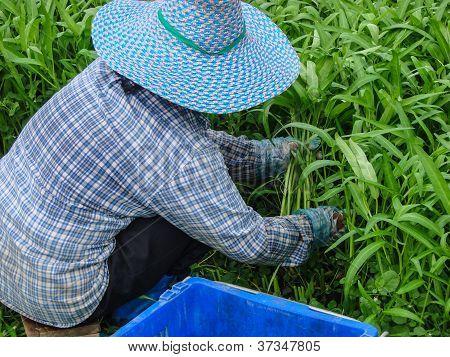 Vegetables Harvesting , Close Up