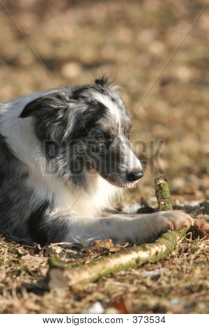 Border Collie Chewing A Stick