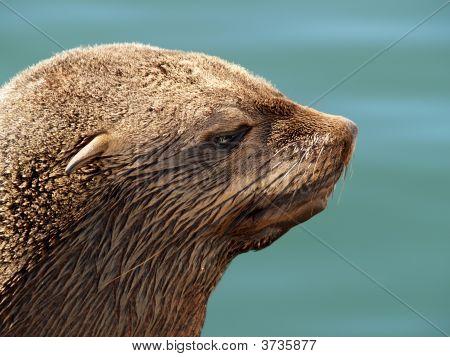 Potrait Of A Seal