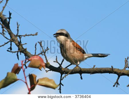 Singing Red-Backed Shrike (Lanius Collurio)