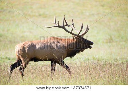 American Elk Bull