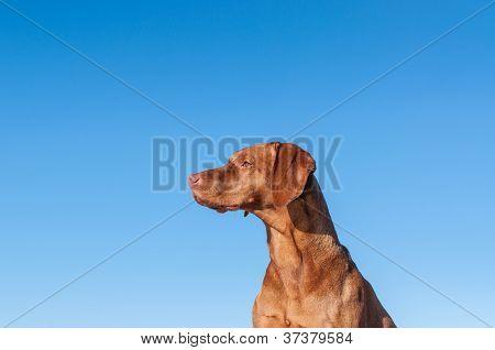 Staring Vizsla Dog With Blue Sky