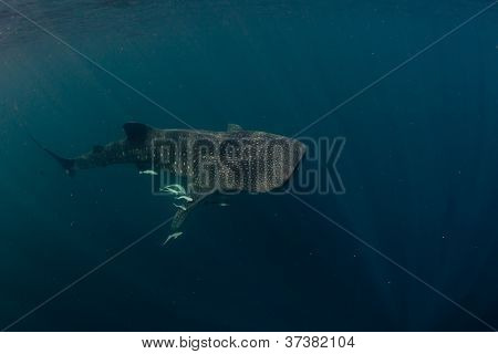 whale shark and rays of light from below