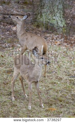 Dos Whitetails