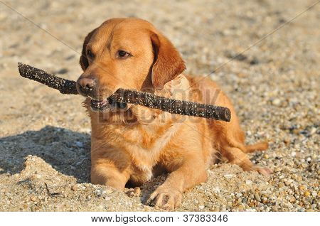 Happy Labrador Retriever playing at the beach
