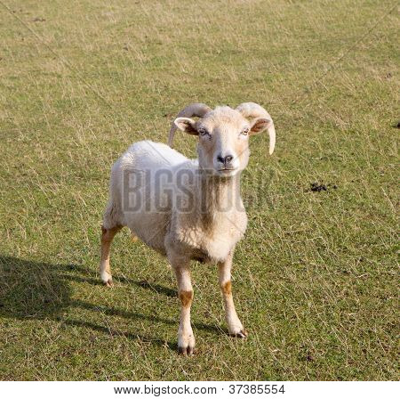 Portland sheep rare breed from the Isle of Portland in Dorset, England.