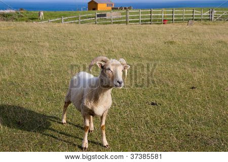 The very rare Portland breed of sheep