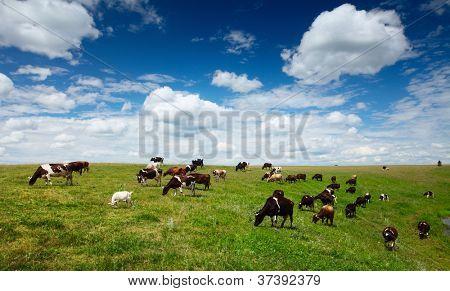 Herd of cows grazing on green summer meadow
