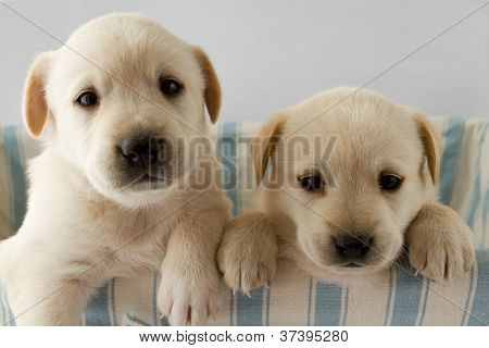 Puppies - portrait of cute labrador puppies