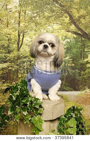 Shih Tzu Sitting On A Cement Stand