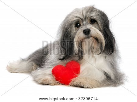 Lover Valentine Havanese Boy Dog