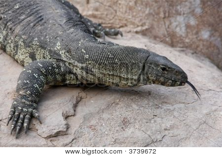 Komodo Dragon Lizard