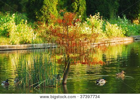 Ducks on lake in autumn colours