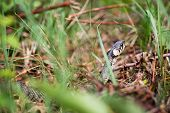 stock photo of garden snake  - Grass snake  - JPG