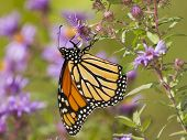 Monarch Butterfly Pollinating New England Aster