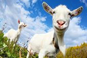 foto of goat horns  - Portrait of a funny goat looking to a camera over blue sky background - JPG
