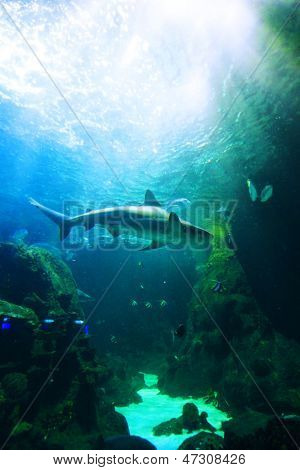 Hai Unterwasser schwimmen über Korallenriff