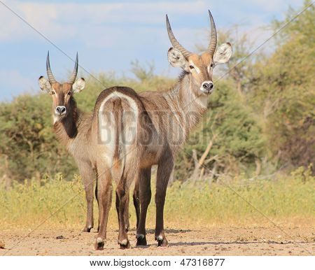 Waterbuck bull brothers - Looking back only once - Wild Africa