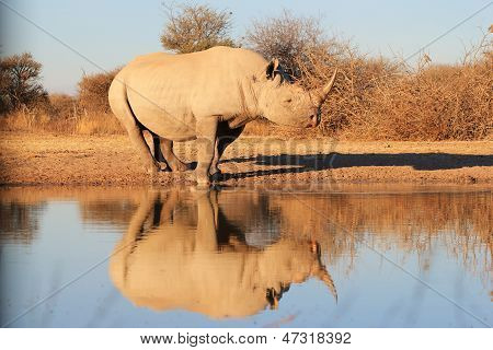Black Rhino - Endangered Species with its reflection