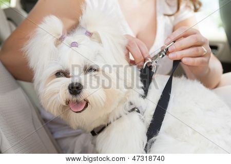 Owner of the dog attaching safety leash to harness to make a journey safe