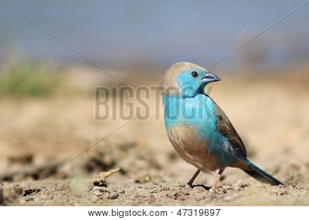 Blue Waxbill Beauty from Wild and Free Africa