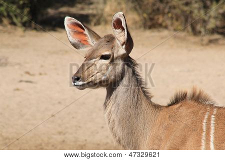 Kudu - Wildlife Background from Africa - Listen and Survive