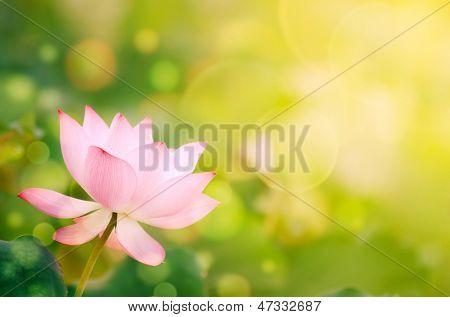 Morning lotus flower in the farm under warm sunlight.