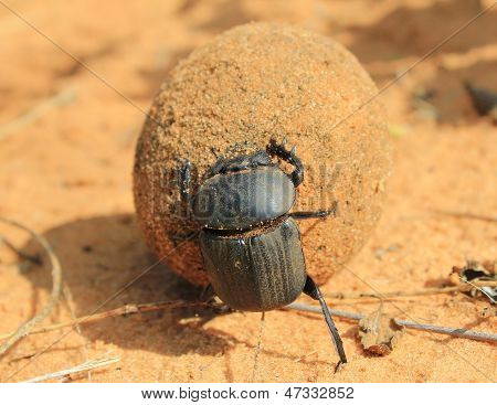 Dung Beetle - Insect Background of Fun - from the wilds of Africa