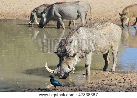 Warthog - Wildlife Background from Africa - Posture of wild Pigs