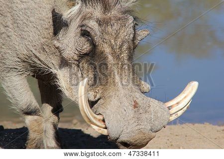 Warthog portrait of power and sharp tusks - Africa