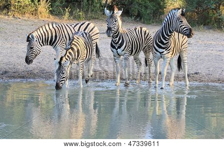 Zebra - African Wildlife of iconic beauty and stripes