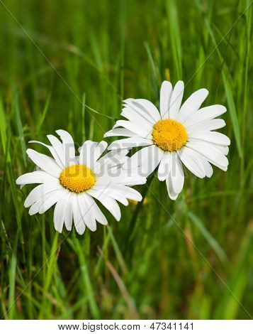 Beautiful Daisies Growing In A Green Meadow