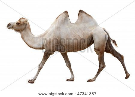 Walking Camel On A White