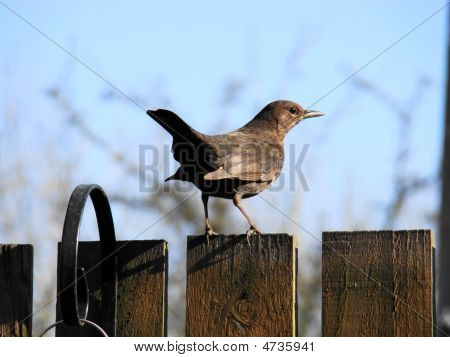 Female Blackbird,turdus Merula