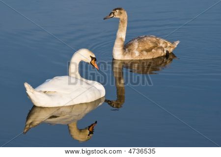 Two Swans, Adult With Kid