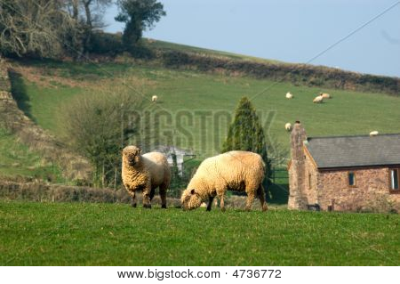 Two Oxford Down Sheep