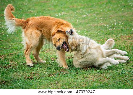 Retrato de dois cães jovens jogando no Prado