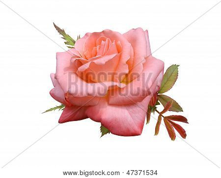 roses flowers it is isolated a holiday