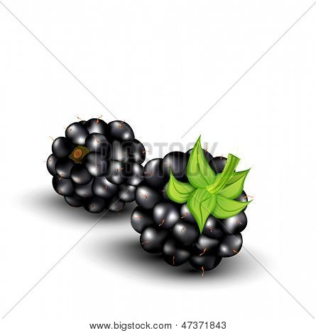 vector blackberries on a white background
