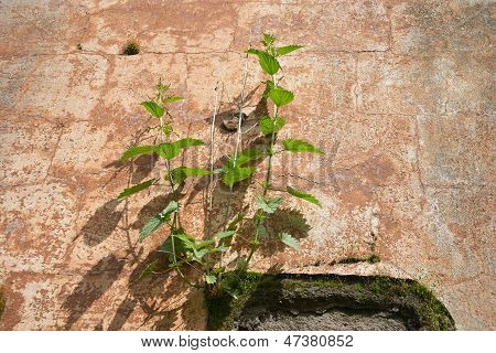 Urtica Dioica On The Wall
