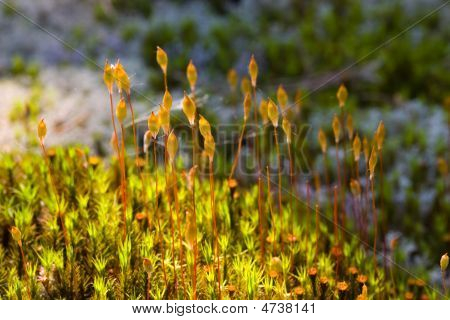 Polytrichum Under The Sun