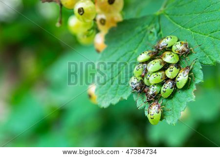 Little Shield bugs, also known as stink bug on a plant