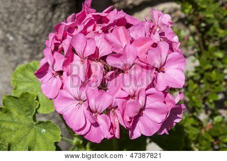 Geranium Flowers, Commonly Called Geranium