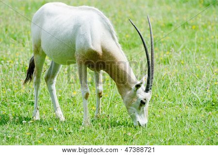 Scimitar Horned Oryx Eating