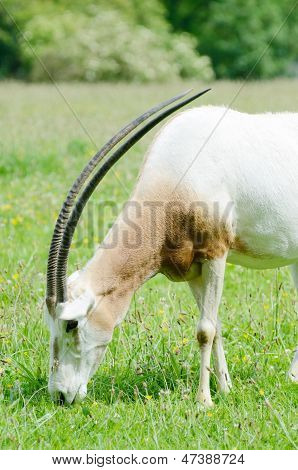 Scimitar Horned Oryx Grazing