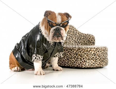 female bulldog humanized with leather coat and glasses sitting beside couch isolated on white background