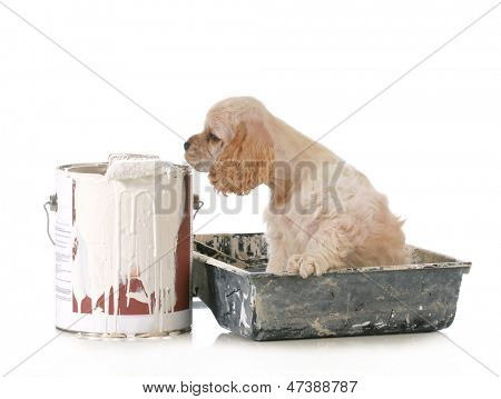 puppy with paint - american cocker spaniel puppy with paint tray and gallon of paint isolated on white background