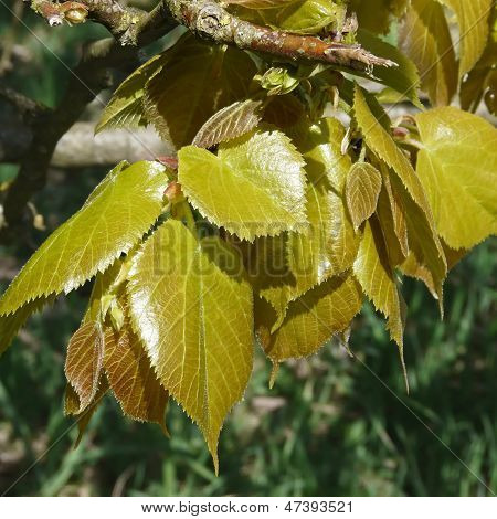 Young Leaves Of The Beech In Spring, Fagus Sylvatica
