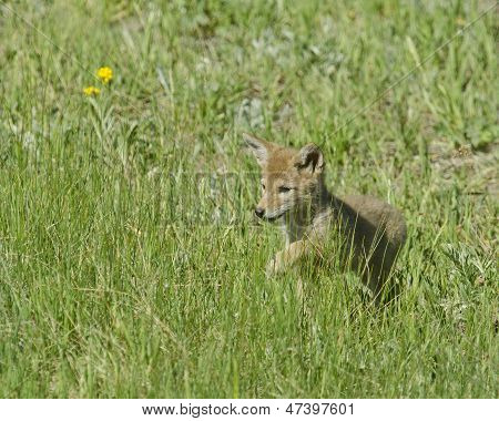 Coyote Puppy On The Prowl