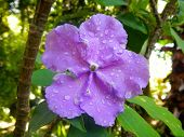Flower of brunfelsia